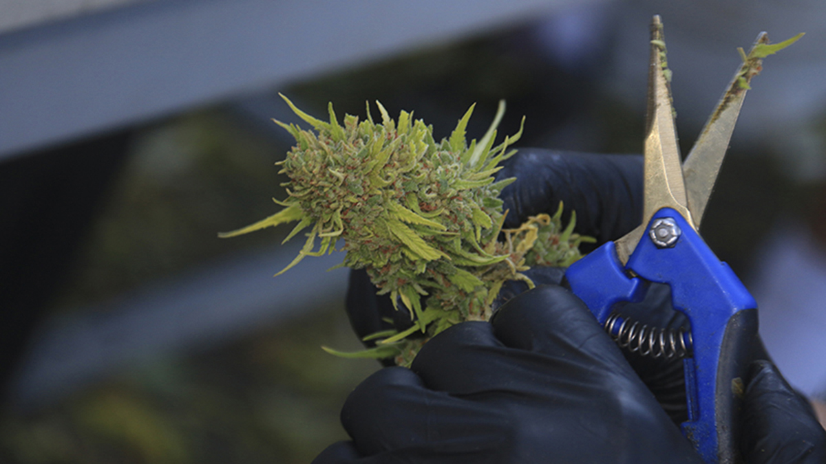 worker harvests the bud of a cannabis plant apart of medical marijuana growth in Arizona