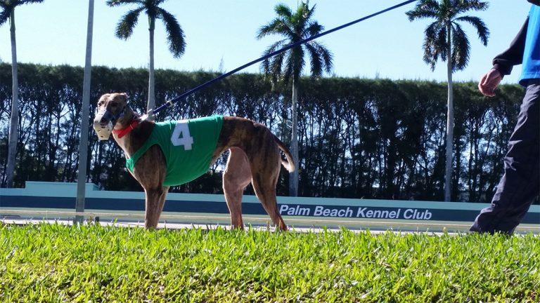greyhound, racing